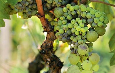 виагра виноград