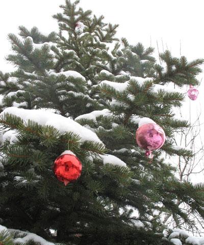 Новогодние праздники закончились, упакованы в коробки украшения, а лесные красавицы из квартир перекочевали к мусорным бакам. И лишь одна елочка из небольшого леса на склоне балки Долын по-прежнему остается нарядной. Кто и когда украсил ее алыми шарами - остается лишь гадать. Может быть, они так и провисят в «дикой» природе до следующего Нового года.