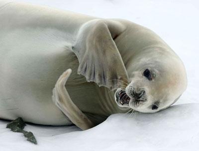 Тюлень-крабоед - симпатичное существо, которое питается крилем.