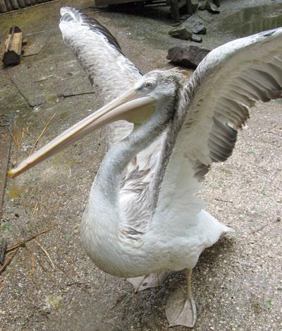 Мариупольский зоопарк. Пеликану ищут пару