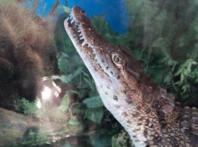 Мариупольский зоопарк. Крокодил