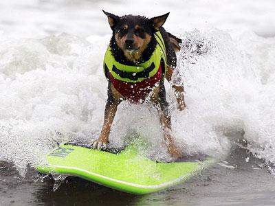 В Калифорнии состоялось второе ежегодное соревнование по серфингу среди собак.