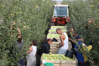 Бригада №3 ООО Сады Донбасса собирает урожай самого популярного сорта Голден Делишес.