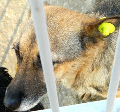 Так выглядит клипса, по которой любой может определить, что собака простерилизована и привита от опасных болезней.
