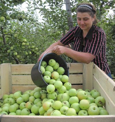 Марина Сидоренко из г. Горняка работает на уборке яблок.
