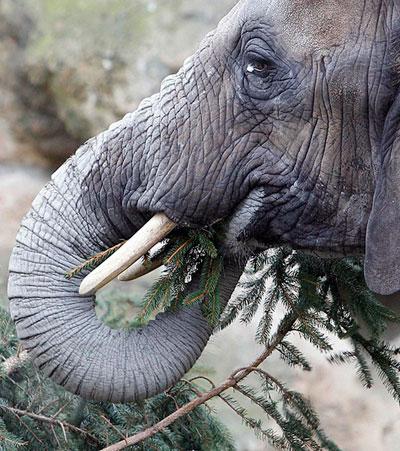 Рождественско-новогодние праздники в Европе завершились. Власти столицы Австрии придумали, что делать с использованными ёлочками. Их скармливают слонам венского зоопарка.