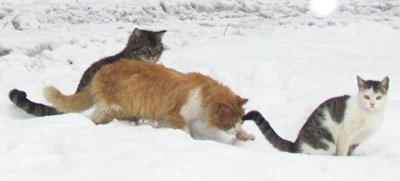 Несмотря на повсеместные снег и морозы, месяц кошачьих свадеб начался! Эта троица  застолбила территорию двора у пятиэтажки на улице Кирова в Шахтерске.
