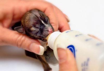 В штате Калифорния (США) родился щенок таксы, претендующий на звание самой маленькой собаки в мире. При рождении щенок, которого назвали Бейонсе в честь популярной американской певицы, весил всего 28 граммов и помещался в чайную ложку.