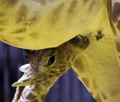 В зоопарке Мадрида - пополнение. Жирафиха Тату родила малыша ростом 1,7 м и весом 60 килограммов.