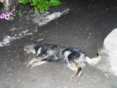 собаку отравили