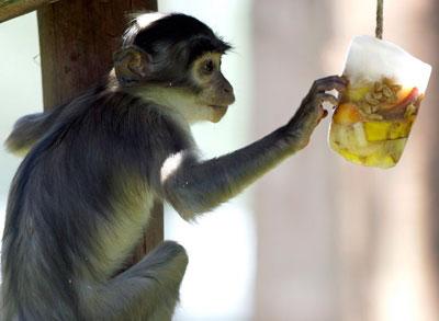 Горячие ветры из Африки принесли в Италию знойную погоду, температура превысила 30 градусов. В зоопарке Рима изнывают от жары животные. Чтобы охладить зверей, смотрители угощают их замороженными во льду фруктами.