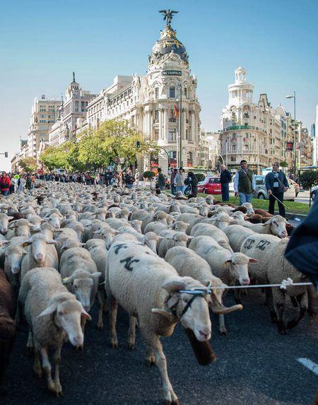 Через столицу Испании на зимние пастбища прогнали две тысячи овец и баранов. Не всем жителям Мадрида это нравится, однако фермеры продолжают соблюдать 800-летний обычай.