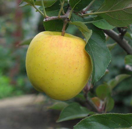Пахнет дождями осеннее яблоко.