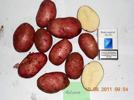 Родзинка - средне-поздний сорт. Его вкус специалисты оценивают на 4,5 по пятибалльной системе. Содержание крахмала - 14-16%. Урожайность - 520 ц/га.