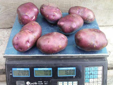 Смуглянка - ранний сорт. Урожайность - 480 ц/га, мякоть крахмалистая (20%) и отменно вкусная. Подходит для варки и для гриля. Отлично хранится.
