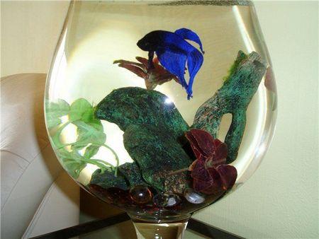 Мини-аквариум может быть населён только одной обитательницей: даже двум здесь будет тесно!