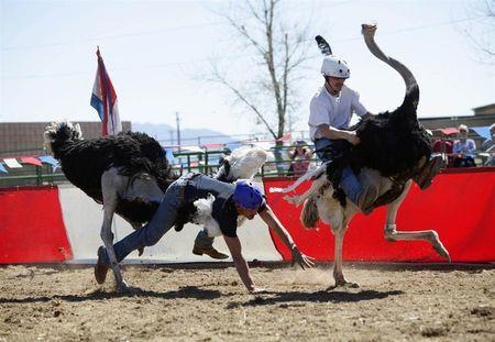 Трёхдневный фестиваль, посвящённый страусам, прошёл в Аризоне (США). Здесь даже устроили гонки на самых больших птицах в мире. Это весьма опасная затея, так как на страуса не одевают стремя и вожжи - лишь небольшое место в виде седла, поэтому от падений никто не застрахован.