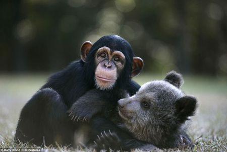 Неожиданные дружеские отношения возникли у пары постояльцев зоопарка Южной Каролины (США). Пятимесячный медвежонок гризли по имени Бам Бам и шимпанзе Вали начали играть и расти вместе, приводя в восторг посетителей. Как только друзья подрастут, они отправятся в естественные места обитания: Бам Бам - в Северную Америку, а Вали - в джунгли южной Африки.