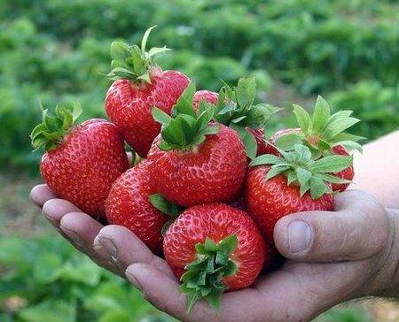 Эльсанта - новый сорт постоянного плодоношения с непередаваемым вкусом, «плодят» и розетки, и детки первого года жизни. Масса ягоды - около 20 г.