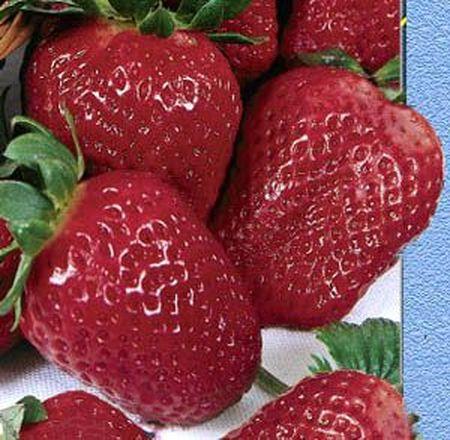 Искушение - очень сладкая, плодоносит до заморозков, выбрасывает до 20 цветоносов одновременно.
