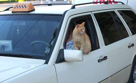 Для привлечения клиентов в начале курортного сезона севастопольские таксисты пускаются на всевозможные уловки. Например, в центре города зазывалой в такси подрабатывает кот Рыжик.