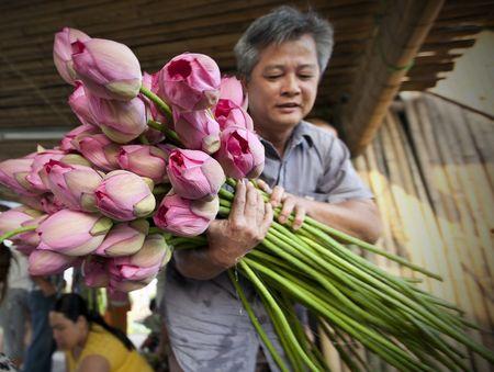 Во Вьетнаме начался сезон цветения лотоса - государственного символа страны. Благодаря этому неприхотливому растению многие крестьяне поддерживают своё благосостояние без особых усилий. Лепестки цветов и тычинки добавляют в чай для придания приятного аромата, корни употребляют в пищу в виде салатов, из семян готовят цукаты, даже листья не идут в отходы - в них заворачивают еду.
