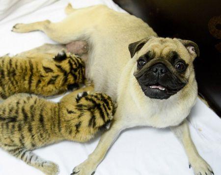 В зоопарке сочинского санатория «Октябрьский» от четырёх новорождённых тигрят отказалась мать. Опеку над ними взяли собаки породы мопс.