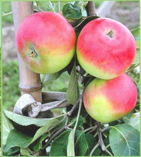Эрли Женева - cуперскороплодный сорт (плодоносит уже в первый год после посадки). Крупные плоды созревают в конце июля - первой половине августа. Когда на зеленовато-жёлтой кожице появляется румянец, значит, пора приступать к уборке ароматных и вкусных яблок.