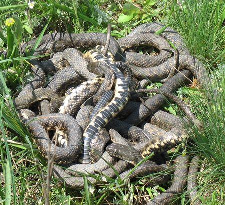 Змеиные свадьбы когда