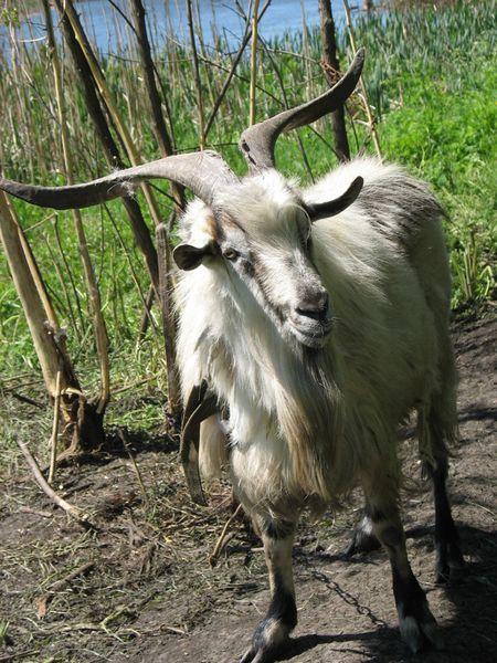 Гроза браконьеров - козёл Бориска.