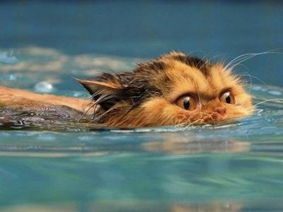http://donbass.ua/multimedia/images/gallery/640_480/2010/09/09/swimming_cats_01.jpg