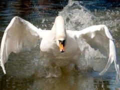 Лебедь-одиночка атакует рыбаков