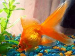 В Китае выбирали самую красивую золотую рыбку мира (ВИДЕО)