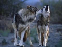 Ученые выяснили, почему волки не поддаются приручению