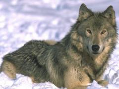 Донецкой области предлагают зарабатывать на волках