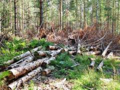 Возле курортного Брусино незаконно вырубили 200 деревьев