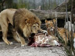 В датском зоопарке продолжают уничтожать животных (ВИДЕО)