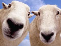 Самый посещаемый музей мира оккупировали овцы (ВИДЕО)