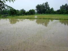 В Крыму без воды погиб весь урожай риса