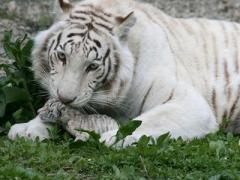 В ялтинском зоопарке от холода умер тигренок