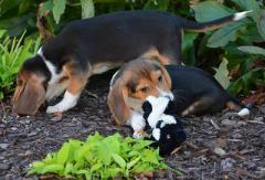 """В США впервые вырастили щенков """"в пробирке"""""""