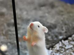 Генетики вылечили мышей от аутизма