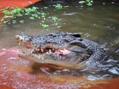 Крокодил съел российского туриста в Индонезии