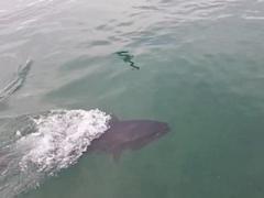 Огромный тунец чуть не проглотил жадную чайку (ВИДЕО)