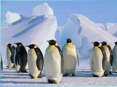 Пингвины в Антарктиде  испугались оперного пения (ВИДЕО)