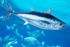 В Японии на аукционе продали голубого тунца за 16 миллионов гривен (видео)