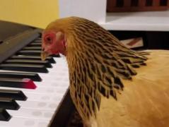 Курица на синтезаторе исполнила американскую патриотическую песню (ВИДЕО)