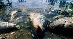 Кількасот кілограмів гнилої риби виловили у столичних водоймах