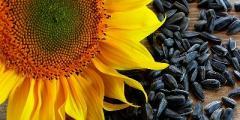 Украина существенно увеличила производство подсолнечного масла