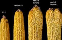 6 причин отказаться от кукурузы навсегда!